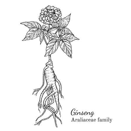 Inkt ginseng kruiden illustratie. Hand getrokken botanische schets stijl. Absoluut vector. Goed voor het gebruik in verpakkingen - thee, condinent, olie etc - en andere toepassingen Stock Illustratie