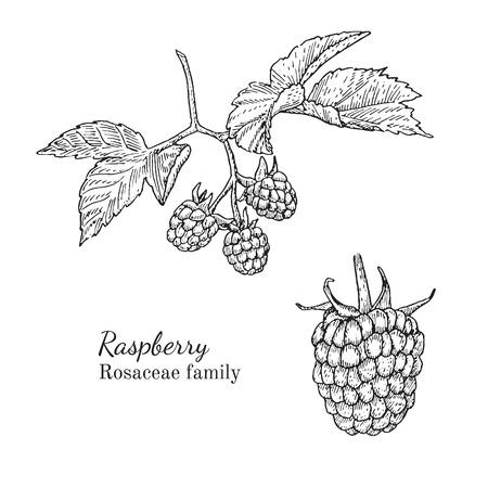 Inkt framboos kruiden illustratie. Hand getrokken botanische schets stijl. Absoluut vector. Goed voor het gebruik in verpakkingen - thee, condinent, olie etc - en andere toepassingen