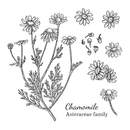 camomile tea: Ink chamomile herbal illustration. Hand drawn botanical sketch style. Absolutely vector. Good for using in packaging - tea, condinent, oil etc - and other applications