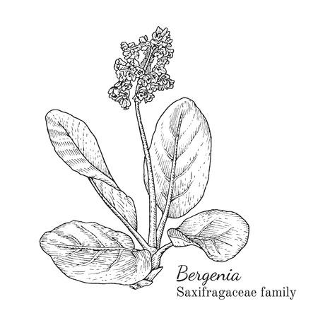 Inkt bergenia kruiden illustratie. Hand getrokken botanische schetsstijl. Absoluut vector. Goed voor gebruik in verpakkingen - thee, geschikt, olie enz. - en andere toepassingen