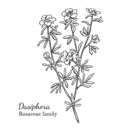 Ink dasiphora herbal illustration. Hand drawn botanical sketch style. Absolutely vector. Good for using in packaging - tea, condinent, oil etc - and other applications Çizim