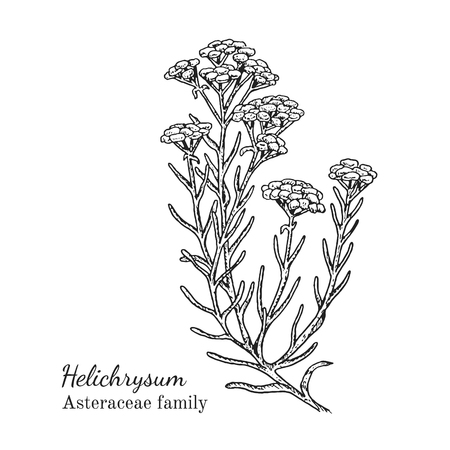 Inkt helichrysum kruiden illustratie. Hand getekende botanische schetsstijl. Absoluut vector. Goed voor gebruik in verpakkingen - thee, condinent, olie, enz. - en andere toepassingen