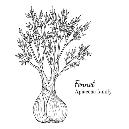 Inkt venkel kruiden illustratie. Hand getrokken botanische schetsstijl. Absoluut vector. Goed voor gebruik in verpakkingen - thee, condinent, olie, enz. - en andere toepassingen