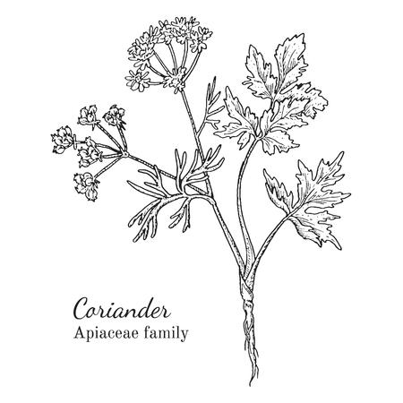 Inkt koriander kruiden illustratie. Hand getrokken botanische schetsstijl. Absoluut vector. Goed voor gebruik in verpakkingen - thee, condinent, olie, enz. - en andere toepassingen