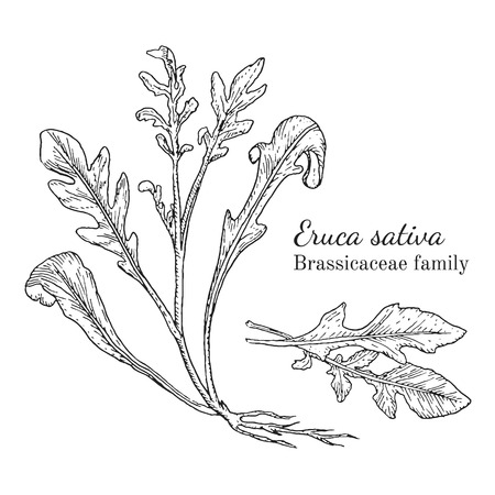 Ink arugula herbal illustration. Hand drawn botanical sketch style. Absolutely vector. Good for using in packaging - tea, condinent, oil etc - and other applications