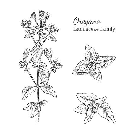 Inkt oregano kruiden illustratie. Hand getrokken botanische schetsstijl. Absoluut vector. Goed voor gebruik in verpakkingen - thee, condinent, olie, enz. - en andere toepassingen