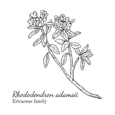 Inkt rhododendron adamsii kruiden illustratie. Hand getekende botanische schetsstijl. Absoluut vector. Goed voor gebruik in verpakkingen - thee, condinent, olie, enz. - en andere toepassingen Stock Illustratie