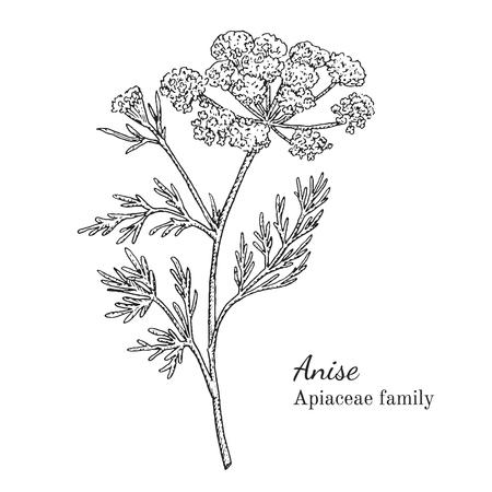 Inkt anijs kruiden illustratie. Hand getekende botanische schetsstijl. Absoluut vector. Goed voor gebruik in verpakkingen - thee, condinent, olie, enz. - en andere toepassingen Stock Illustratie