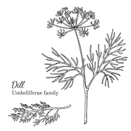 Ink dill herbal illustration. Hand drawn botanical sketch style. Absolutely vector. Good for using in packaging - tea, condinent, oil etc - and other applications Çizim