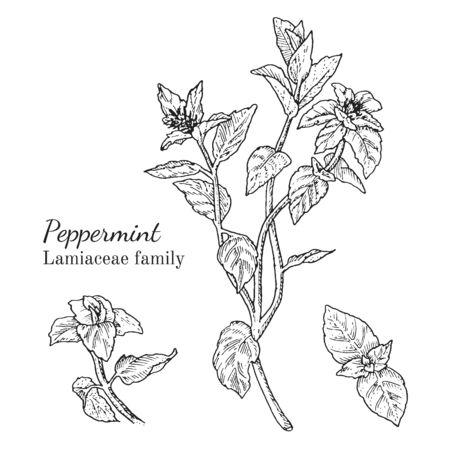 Inkt pepermunt kruiden illustratie. Hand getekende botanische schetsstijl. Absoluut vector. Goed voor gebruik in verpakkingen - thee, condinent, olie, enz. - en andere toepassingen Stock Illustratie