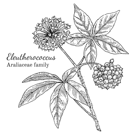 Ink eleutherococcus herbal illustration. Hand drawn botanical sketch style. Absolutely vector. Good for using in packaging - tea, condinent, oil etc - and other applications Stok Fotoğraf - 78901915