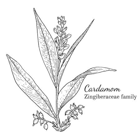 Inkt kardemom kruiden illustratie. Hand getekende botanische schetsstijl. Absoluut vector. Goed voor gebruik in verpakkingen - thee, condinent, olie, enz. - en andere toepassingen