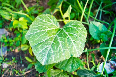 The green leaves of the tree leaves, cucumber