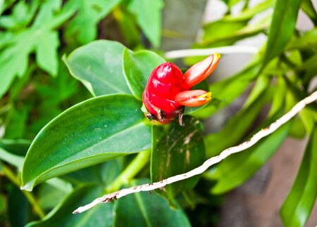 Red flowers are popular or be planted in the garden for beauty.
