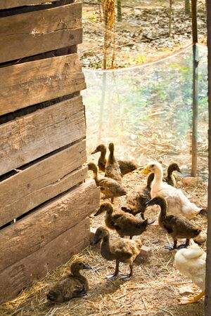 Duck farming villages for food or for sale is a once occupation of the Thai people.