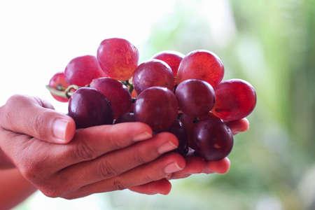 Fresh Red Grape harvest hold by hand farmer Stok Fotoğraf - 155434521