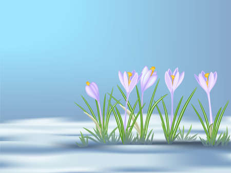 blue flowers: First  spring flowers   on thawed patch. Blue - violet crocuses. Vector illustration EPS8.