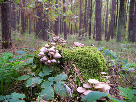 maturity: Mycena pura, mushroom in the family Mycenaceae. The fungus inedible, maybe - slightly toxic. A cap that is convex, flat, or broadly bell-shaped at maturity. Ukrainian forest. Stock Photo