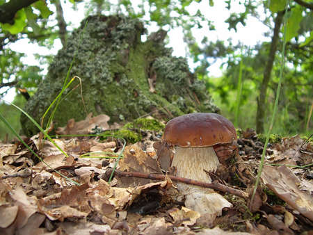 cep: The boletus edulis (cep or porcino) in the forest (Ukraine).This is a very popular, delicious, meaty mushroom.