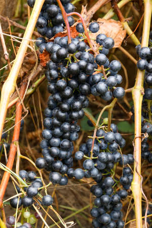 Ripe grapes for red wine.