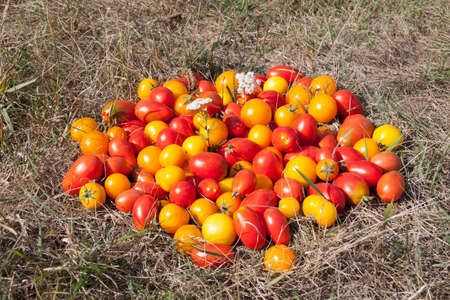 Different sorts of tomatoes on a grass.