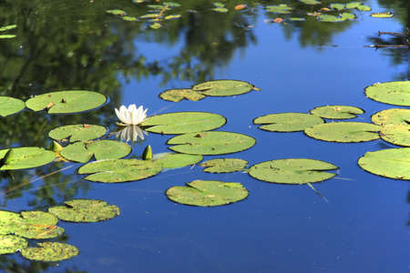 White lotus on surface of pond.