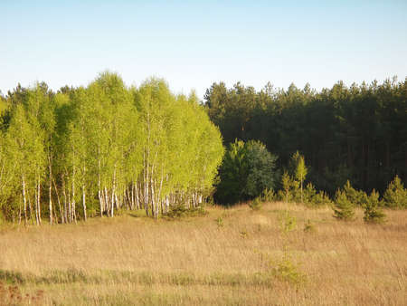 Birch bosk against the background of the pine forest.