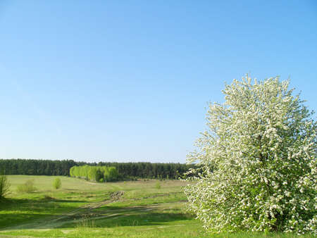 Blooming wild pear in the foreground. Birch grove and pine forest background. Фото со стока