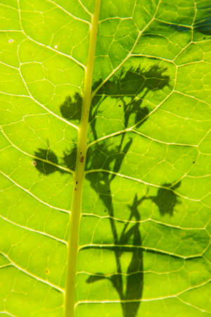 Horseradish green leaf close up and  flower silhouette