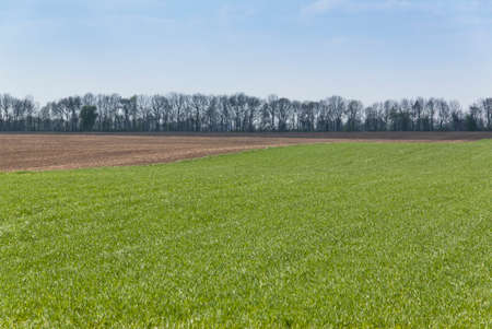 Rural spring landscape with green field and afforestation. Wheat seedlings and arable land.