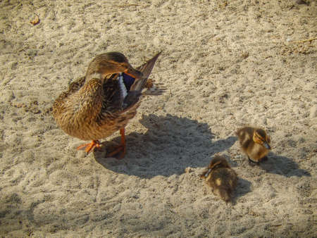 brood: Duck with brood of ducklings on the sand Stock Photo