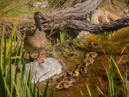 brood: Duck with brood of ducklings near the pond