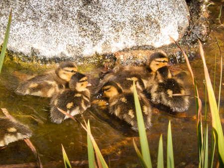 ducklings: Cute ducklings in the water