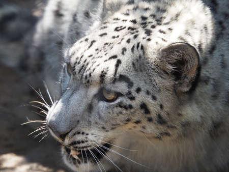 irbis: Cute snow leopard looking around