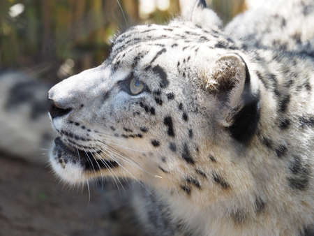 looking around: Cute snow leopard looking around