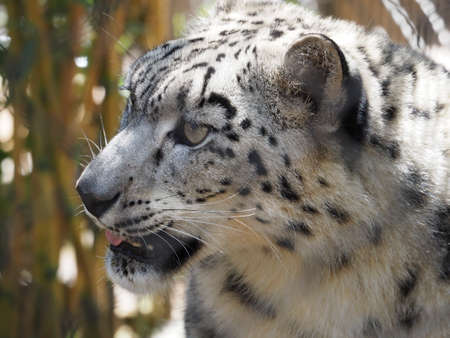 irbis: Cute snow leopard looking around