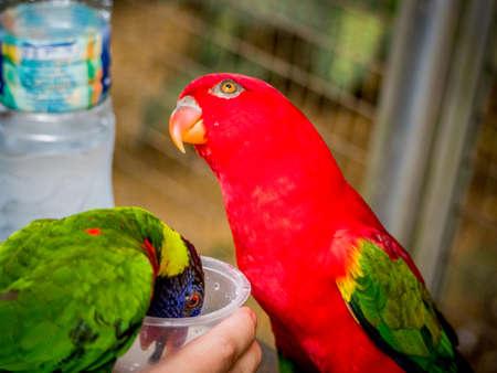 licking finger: Australian Rainbow Lorikeet, Trichoglossus moluccanus, on a human hand drinking milk