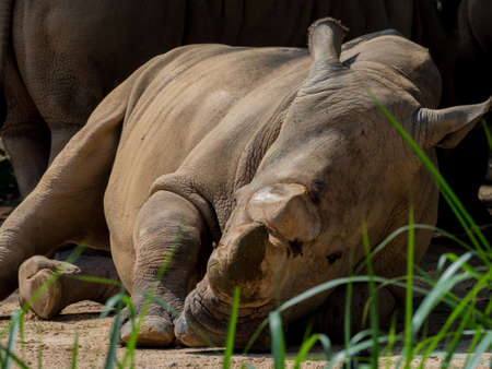 Sleeping rhino portrait