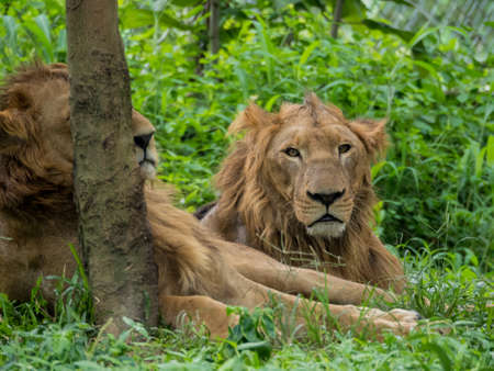 dangerous love: Male and Female Lions resting