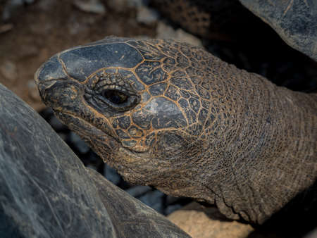 land turtle: Giant Galapagos turtle face close up