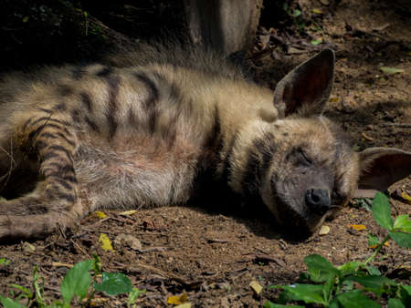 voracious: Sleeping or resting Spotted Hyena Stock Photo