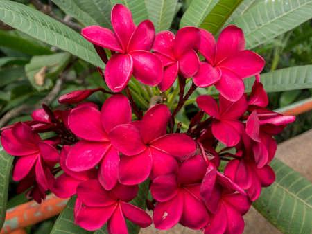 Red Plumeria on the plumeria tree, frangipani tropical flowers. Plumeria acuminata Aiton or West Indian Red Jasmine.