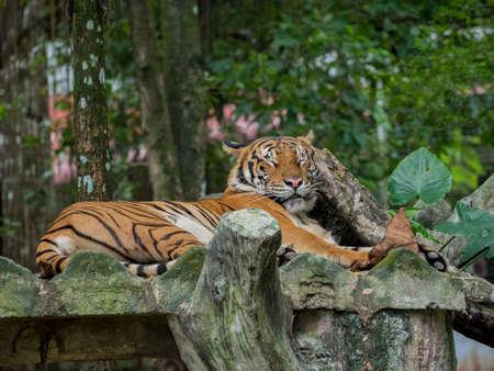 sumatran: Portrait of Sleeping or Resting Tiger