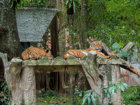 tigress: Pair of Sleeping or Resting Tigers Stock Photo