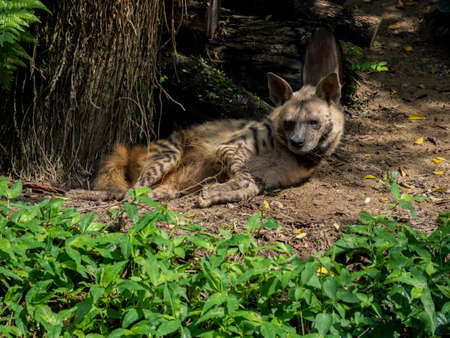 Sleeping or resting Spotted Hyena Stock Photo