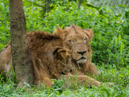 Male and Female Lions are resting Stock Photo