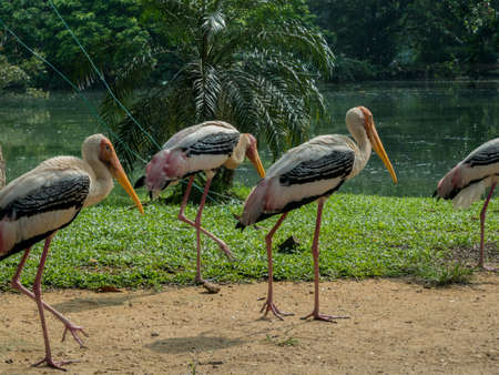 Group of a yellow-billed stork or wood ibis (Mycteria ibis) Stock Photo