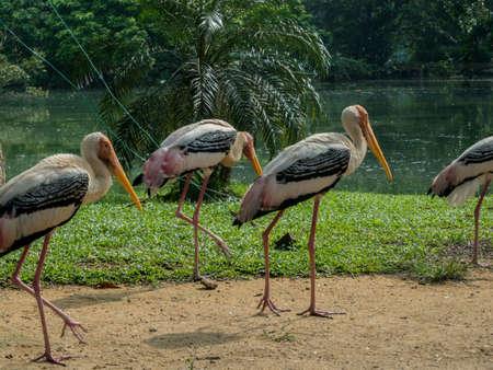 nakuru: Group of a yellow-billed stork or wood ibis (Mycteria ibis) Stock Photo