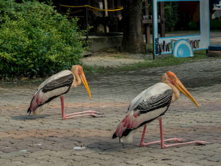 naivasha: Group of a yellow-billed stork or wood ibis (Mycteria ibis) Stock Photo