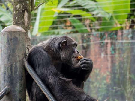 simia troglodytes: close up of a male chimpanzee eating bread